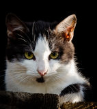 Cat with green eyes. Cat head with green eyes with black and white fur Stock Photos