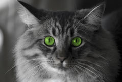 Cat with green eyes. Black and white picture of a cat with green eyes Stock Image