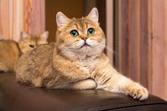 Cat with green eyes, adorable British gold cat with deep rich green eyes. Cat with green eyes - adorable British gold cat with deep rich green eyes lies on the stock photos