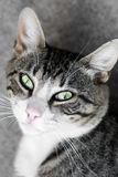 Cat with green eyes. Animal portrait of a tabby white cat with green eyes Stock Images
