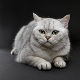 Cat with green eyes. stock photography