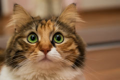 Cat with green eyes. Stock Photos