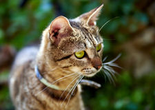 Cat with green eyes Royalty Free Stock Image