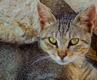 Cat with green eyes. Grey cat with green eyes  in a greek village Royalty Free Stock Photo