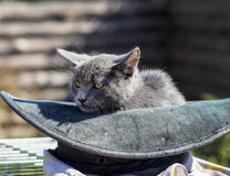 Cat with green eyes is in the hat. Gray cat with green eyes is in the hat Stock Photo