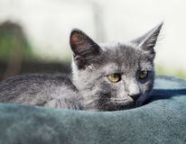 Cat with green eyes is in the hat. Gray cat with green eyes is in the hat Royalty Free Stock Image