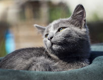 Cat with green eyes is in the hat. Gray cat with green eyes is in the hat Stock Photography