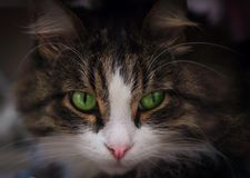 Cat with green eyes. Homemade cat with green eyes looking away, close-up Stock Photography