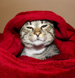 Cat with green eyes are lying under the red blanket Stock Photography