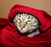 Cat with green eyes are lying under the red blanket stock photo