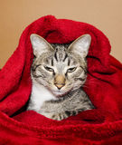 Cat with green eyes are lying under the red blanket Stock Images