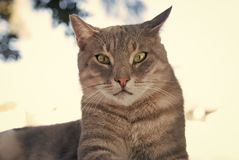 Cat with green eyes in Patmos, Greece. Shorthair cat relax outdoor. Cute pet with grey coat on natural background. cat. Food. healthy pet - happy owner. Kitten stock photo