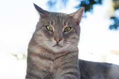 Cat with green eyes in Patmos, Greece. Shorthair cat relax outdoor. Cute pet with grey coat on natural background. cat. Food. healthy pet - happy owner. Kitten royalty free stock images