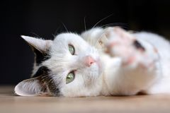 Cat with green eyes and pink nose lying on wooden floor stretching out blurry paw todwards camera on dark background stock photography