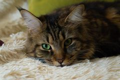 Cat with green eyes rested on the couch stock images