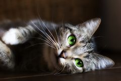 Cat with green eyes, resting,. The cat with green eyes, resting, portrait stock photography
