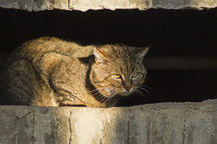 cat with green eyes sits in the shadow Stock Photography