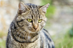 Cat with green eyes stalking -closeup Stock Photography