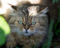 Cat with green eyes Stock Images