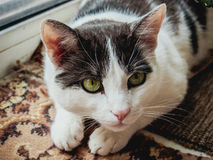 A cat with green eyes. Tom cat with black and white fur and green eyes Royalty Free Stock Images