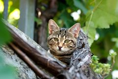 Cat with green eyes in between the vines. Cat with warm green eyes in between the vines looking at the camera in the center of the shot royalty free stock image