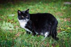 Cat in green field. Black cat is walking in green field Stock Photography
