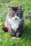Cat in green field. Tabby cat is walking in green field Royalty Free Stock Images
