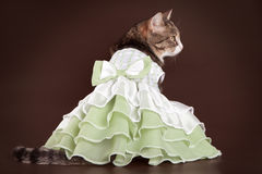 Cat in green frilling dress on brown background stock photography