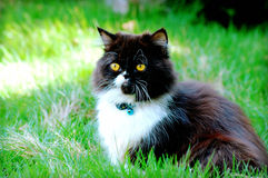 Cat in green grass. Persian cat playing in the green grass royalty free stock photo