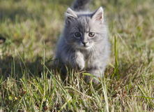 Cat on green grass. Grey russian cat on green grass Royalty Free Stock Images