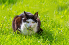 Cat. In the green grass Royalty Free Stock Images