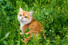 Cat in green grass and flowers, beautiful red British cat with green eyes sitting in the thick grass. Among the small flowers and looking at the camera royalty free stock images
