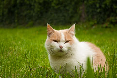Cat in the Green Grass. Fluffy Red Cat with Yellow Eyes. Cat in the Green Grass. Fluffy Red Cat royalty free stock photography