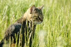 Cat on green grass. Hunting for the mouse. Royalty Free Stock Image