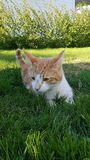 Cat on the green grass. Looking after some bugs stock image