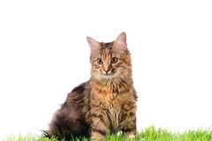 Cat on green grass Stock Image