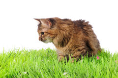 Cat on green grass Stock Images
