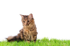 Cat on green grass Stock Photos