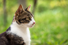 Cat in the Green Grass. Royalty Free Stock Images