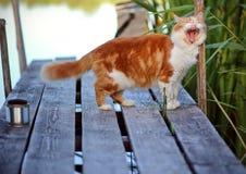 Cat in Green Grass in Summer. Cat fishing, lake, bridge, asking for fish. Royalty Free Stock Photos