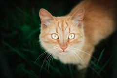 Cat in the Green Grass in Summer. Beautiful Red Cat with Yellow Eyes royalty free stock images