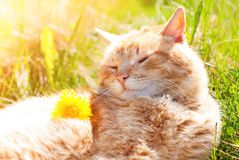 Cat in the Green Grass in Summer. Cat in the Green Grass enjoying life in Summer - Beautiful Red Cat with Yellow Eyes - Playing Cat - Pets Care Concept - Sunny royalty free stock images