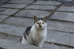 Cat with green majestic eyes looking at camera Royalty Free Stock Images