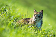 Cat in the green meadow Royalty Free Stock Photo