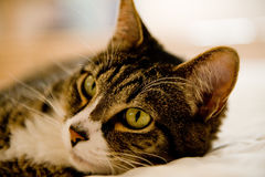 Cat with Gren Eyes Stock Photography