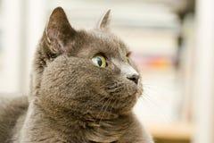 cat grey 免版税库存图片