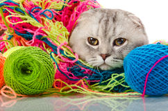 Cat. The grey adult cat with  many multi-coloured clew,  close up portrait Stock Photography