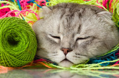 Cat. The grey adult cat with  many multi-coloured clew,  on white  background , , sleep Stock Images