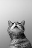 Cat on grey background Stock Images
