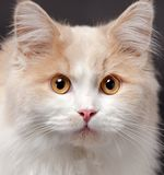Cat on a grey background Royalty Free Stock Photo